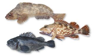 lure_rockfish_001